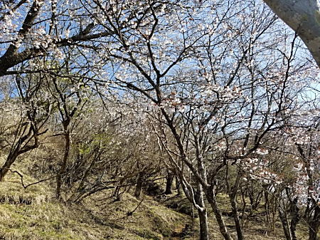 2021.4.12 BOSS丹沢登山 山桜.jpg